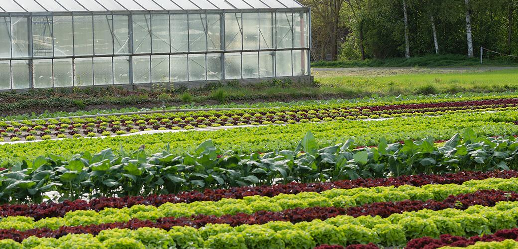 Plantations maraichères et engrais organique